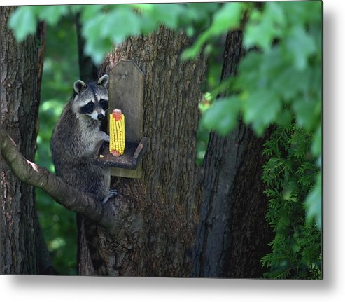 Raccoon Metal Print featuring the photograph Caught In The Act by Karol Livote