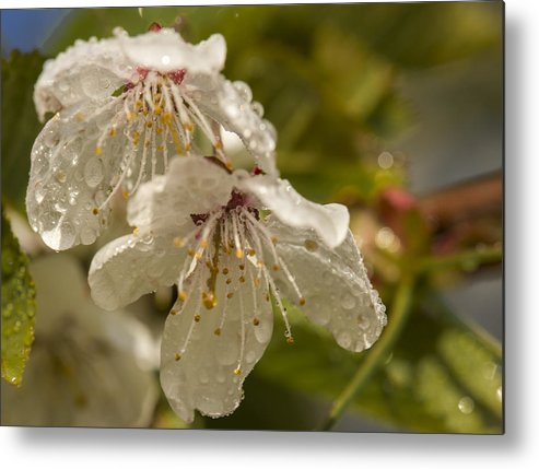 Cherry Metal Print featuring the photograph Cherry Blossom by Joy McAdams