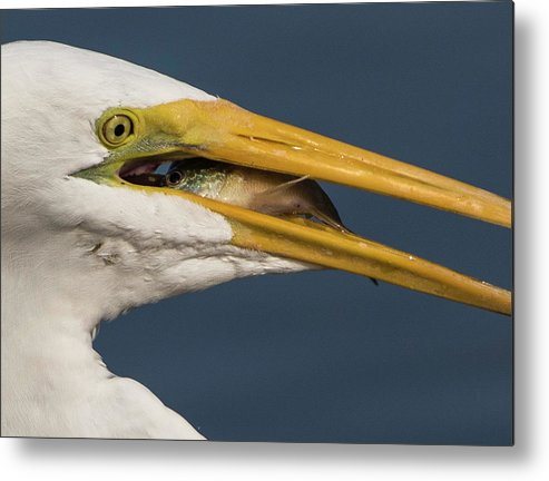 Great Egret Metal Print featuring the photograph Eye To Eye by Brent Bordelon