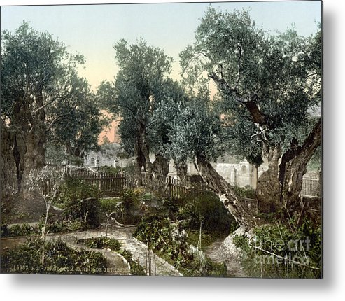 1900 Metal Print featuring the photograph Garden Of Gethsemane by Granger