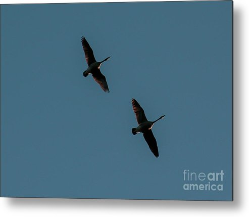 Geese Metal Print featuring the photograph Geese Pair by Mim White