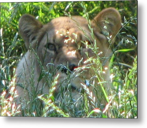 Lion Metal Print featuring the photograph In Hiding by April Camenisch