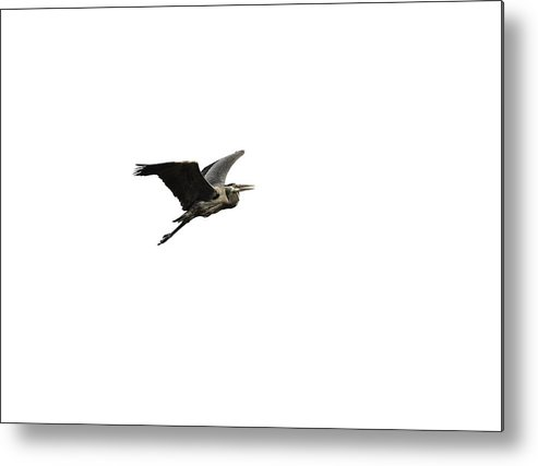 Great Blue Heron Metal Print featuring the photograph Isolated Great Blue Heron 2015-3 by Thomas Young