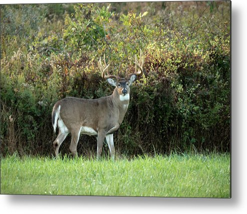 Whitetail Deer Metal Print featuring the photograph King Of The Forest by Travis Boyd