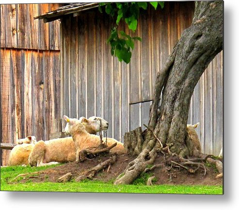 Sheep Metal Print featuring the photograph Lawnmowers At Rest by Ian MacDonald