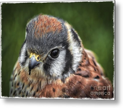 Beautiful Little Kestrel Metal Print featuring the photograph Little Wing by Mitch Shindelbower