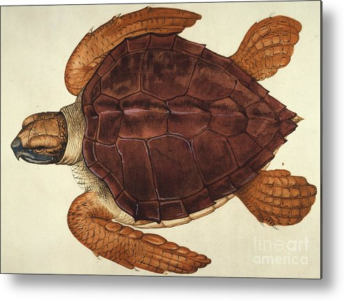 1585 Metal Print featuring the photograph Loggerhead Turtle, 1585 by Granger