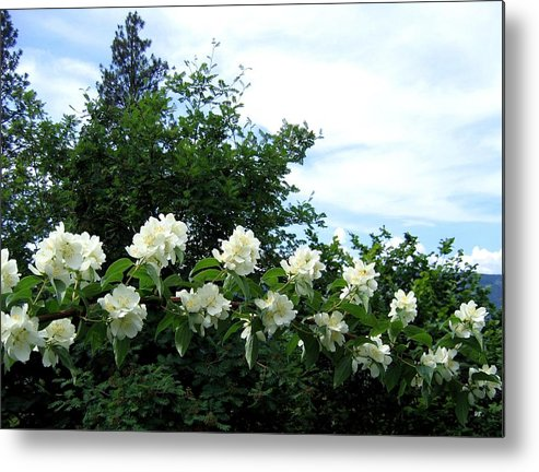 Mock Orange Metal Print featuring the photograph Mock Orange Blossoms by Will Borden