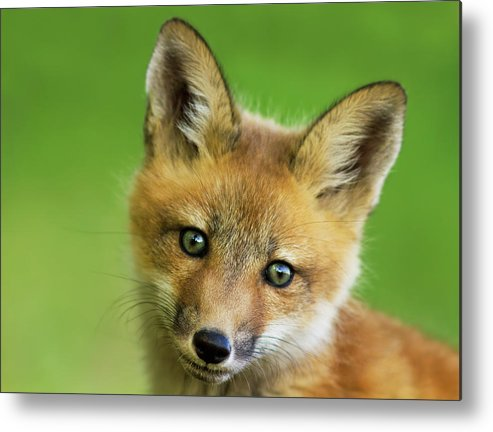 Peekaboo Metal Print featuring the photograph Red Fox Pup by Mircea Costina Photography