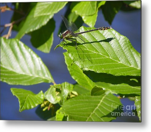 Insect Metal Print featuring the photograph Resting Dragonfly by Gary Morgan