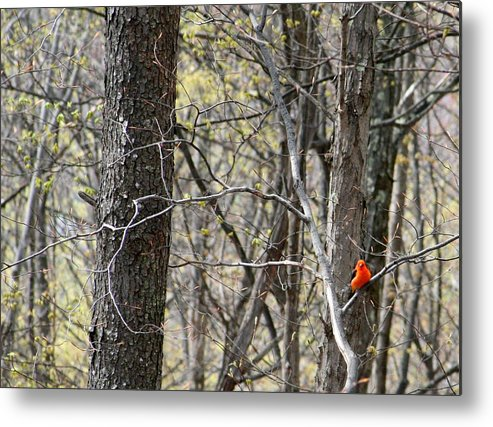 Scarlet Tanager Metal Print featuring the photograph Scarlet Tanager Male Facing by Donald Lively