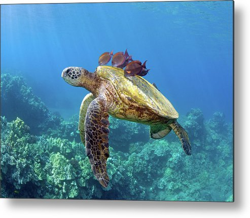 Horizontal Metal Print featuring the photograph Sea Turtle Underwater by M.M. Sweet