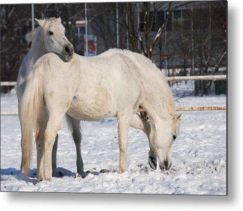 Affection Metal Print featuring the photograph White Horses In The Snow by Jaroslaw Grudzinski