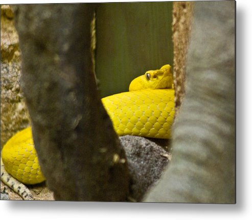 Yellow Metal Print featuring the photograph Wicked Snake by Douglas Barnett