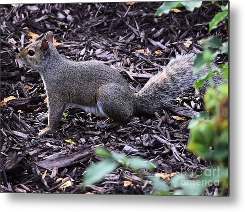 Rodent Metal Print featuring the photograph You Cant See Me by Mark McReynolds