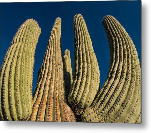 Cactus Metal Print featuring the photograph Saguaro Cactus by Wolfgang Hauerken