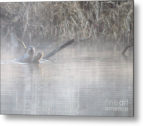 Nature Metal Print featuring the photograph Northern River Otter by Jack R Brock