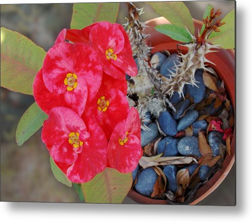 Cactus Metal Print featuring the photograph Cactus Flower Too by Ginny Schmidt