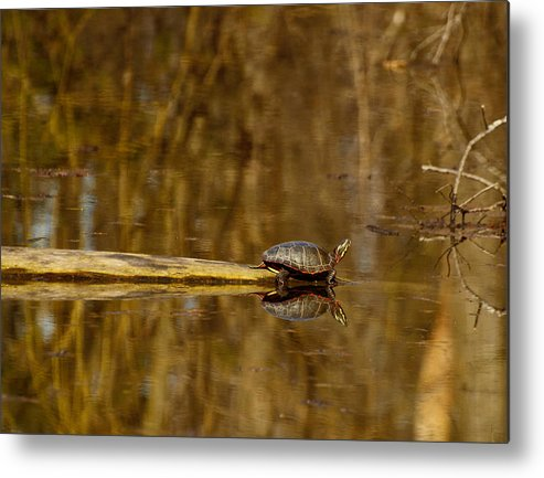 Painted Turtle Metal Print featuring the photograph First Turtle by Thomas Young