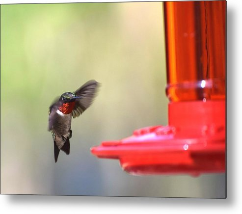 Bird Metal Print featuring the photograph Hummingbirds 376 by Lawrence Hess