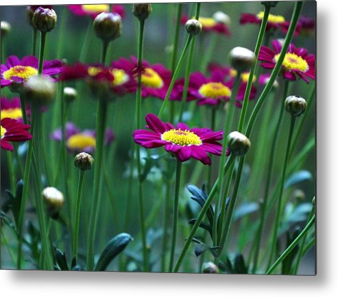 Marguerite Daisy Metal Print featuring the photograph Marguerite Daisies by Carol Welsh