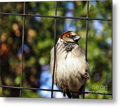Sparrow On A Wire Fence Metal Print featuring the photograph Sparrow On A Wire Fence by Sarah Loft