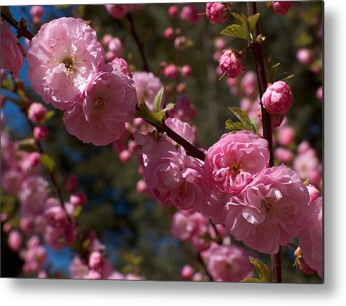 Pink Metal Print featuring the photograph Spring Pink Flowering by Sheila OBrian