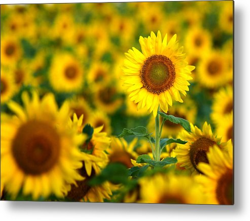 Yellow Metal Print featuring the photograph Sunny Delight by Bill Pevlor