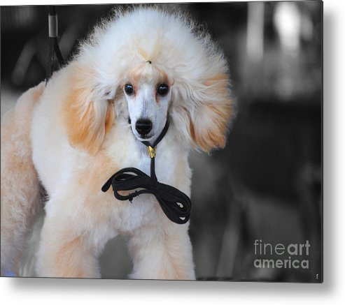 Poodle Metal Print featuring the photograph White Toy Poodle by Jai Johnson