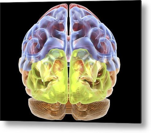 Horizontal Metal Print featuring the digital art Human Brain Anatomy, Artwork by Pasieka
