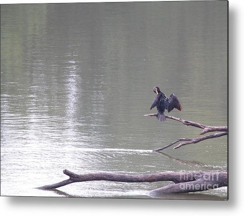 Nature Metal Print featuring the photograph Double-crested Cormorant by Jack R Brock