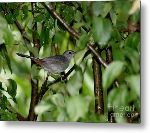 Nature Metal Print featuring the photograph Gray Catbird by Jack R Brock