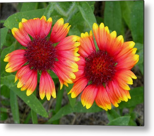 Nature Metal Print featuring the photograph Blanket Flowers by Judy Wanamaker