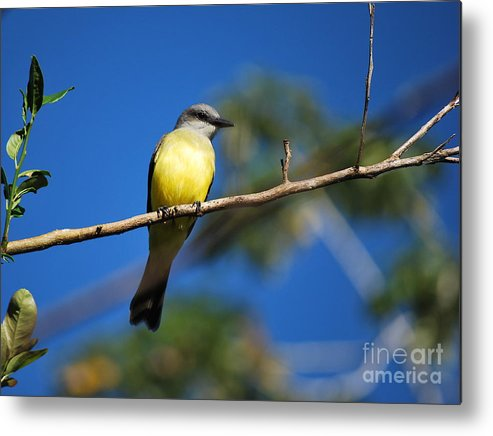 Ecuador Metal Print featuring the photograph Jungle Flycatcher by Fabian Romero Davila