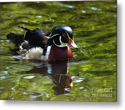 Wood Duck Metal Print featuring the photograph Wood Duck by Sharon Talson
