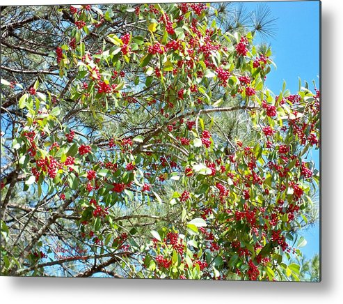 Firethorn Trees Metal Print featuring the photograph Firethorn Tree by Maxine Billings