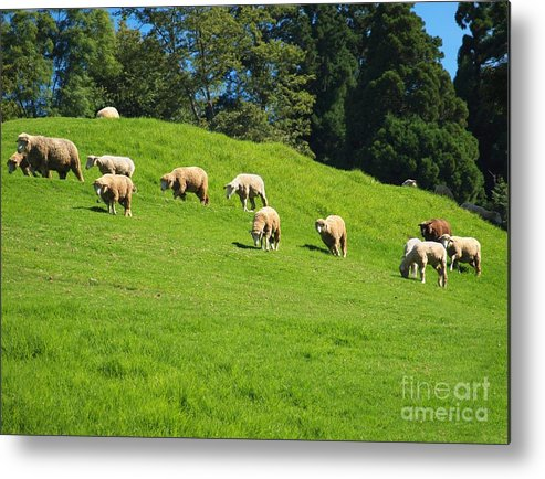 Pasture Metal Print featuring the photograph A Flock Of Sheep Grazes On Lush Grass by Yali Shi