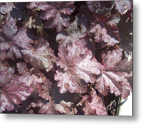 Purple Burgandy Leaves Dew Rain Drops Metal Print featuring the photograph Burgandy Leaves After The Rain by Anna Villarreal Garbis