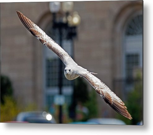 Seagull Metal Print featuring the photograph City Gull by David Freuthal