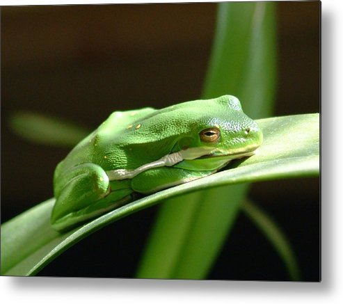 Frog Metal Print featuring the photograph Florida Tree Frog by Ned Stacey