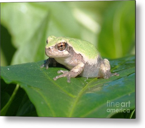 Frogs Metal Print featuring the photograph Froggie In The Pepper Patch by Krista Kulas