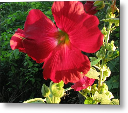 Flower Metal Print featuring the photograph Hollyhock by Gloria Byler