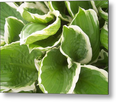 Hostas Leaves Foliage Green White Metal Print featuring the photograph Hostas 2 by Anna Villarreal Garbis