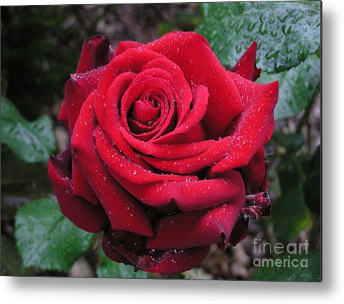 Rose Metal Print featuring the photograph Icy Rose by Louise Magno