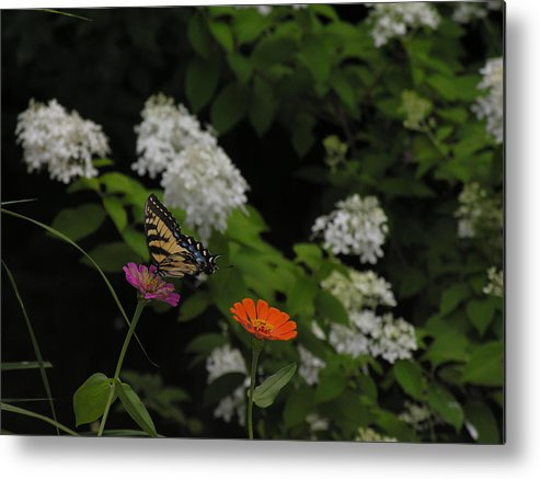 Butterfly Metal Print featuring the photograph Lingering by Anna Dubon