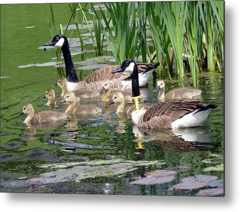 Wildlife Metal Print featuring the photograph Mr And Mrs Goose And Family by Janice Drew