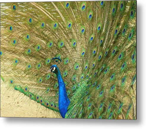 Bird Metal Print featuring the photograph Peacock by Meagan Visser