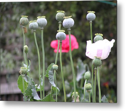 Poppy Pods Metal Print featuring the photograph Poppy Pods by Helen Penwill