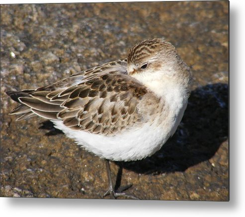 Sandpiper Metal Print featuring the photograph Sandpiper by Doug Mills