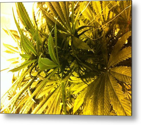 Marijuana Plant Metal Print featuring the photograph Simply Hydro by Jaime Moreno